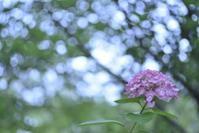 八景島の紫陽花*2* - 想い出