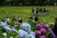 今年の本土寺は、紫陽花が見頃、花菖蒲は残念!!(千葉県、松戸市、本土寺) - 旅プラスの日記