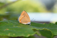 会津のチョウセンアカシジミ (2018/06/17) - Sky Palace -butterfly garden- II