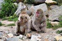 地獄谷野猿公園のサルをもう少し。 - Taro's Photo