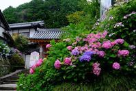 矢田寺の紫陽花(1)@2018-06-15 - (新)トラちゃん&ちー・明日葉 観察日記