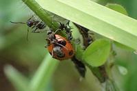 アリとテントウムシ - 小さな生き物たち