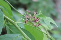 ■ 小谷戸の里の目立たぬ花 3種   18.6.22   (オオカモメヅル、ジャノヒゲ、ウマノスズクサ) - 舞岡公園の自然2