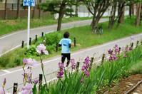 サイクリングロードのあやめとヤマボウシ - 照片画廊