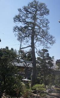樹齢300年の松の木。 - 森小日記(もりしょうにっき)
