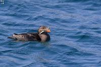 北海道で繁殖する海鳥ウトウ - 野鳥公園