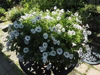 6月の庭Vol.2 - グリママの花日記