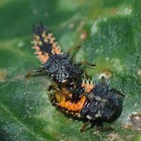 ナミテントウの幼虫の共食いHarmonia axyridis - 写ればおっけー。コンデジで虫写真