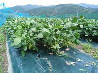 農薬なしでは大変!! 枝豆栽培 - キセツノオヤサイ葉屋の観察日記