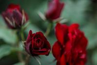 赤い薔薇 - memory