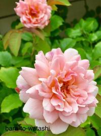 2番花あれこれ - バラと私と時々、カルトナージュ