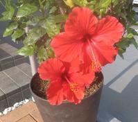 ハイビスカスの鉢植えが - ながいきむら議員のつぶやき(日本共産党長生村議員団ブログ)
