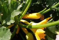 ズッキーニの受粉 - 畑であそぶ ~のんびり家庭菜園・畑しごと~