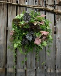 今年の観葉植物のハンギング - ヒバリのつぶやき