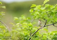 ワッカ原生花園で、再び、マキノセンニュウと会う - THE LIFE OF BIRDS ー 野鳥つれづれ記