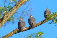 ハヤブサの子 3兄弟 - 今朝の一枚 石狩川の朝
