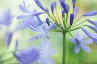 我が家のアガパンサス - 花と風景 Photo blog