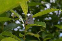 ハヤシミドリシジミ6月22日 - 超蝶