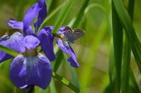 ヒメシジミ6月22日 - 超蝶