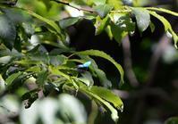 メスアカミドリシジミ他6月22日 - 超蝶