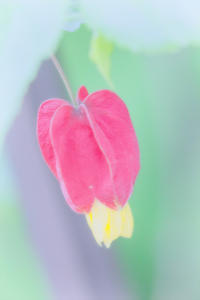 チロリアンランプ(ウキツリボク) - 光 塗人 の デジタル フォト グラフィック アート (DIGITAL PHOTOGRAPHIC ARTWORKS)