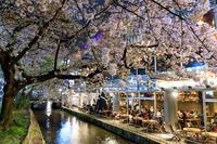 桜咲く京都2018 木屋町・高瀬川の桜たち - 花景色-K.W.C. PhotoBlog