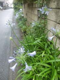 梅雨に似合う花、アガパンサス - 活花生活(2)