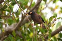 インドハッカ - ごっちの鳥日記