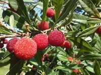 庭の赤い実~山桃 - アオモジノキモチ