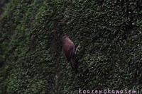 ミソサザイ - 気ままな生き物撮り
