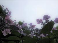 『阿弥陀寺の紫陽花』② - (*´▽`*)
