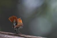 亜高山の夏鳥 その3 - 瑞穂の国の野鳥たち