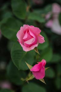 薔薇色 - memory