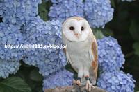 紫陽花とポポちゃん♪ - メンフクロウと一緒~ミリン~