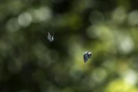 ナラガシワ林の住人~ヒロオビミドリ再挑戦 - チョウ!お気に入り
