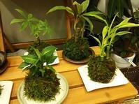 苔玉作りませんか! - 手作り雑貨&観葉植物 kinomi