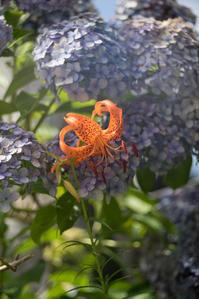 本土寺の紫陽花 ① - 光の贈りもの
