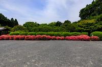 サツキのライン(隨心院) - 花景色-K.W.C. PhotoBlog