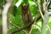 リュウキュウコノハズク(Ryukyu scops owl)/2018.06 - Birding  in  Japan!