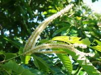 利平栗栗の王様『利平栗』花と着果の様子今年も無農薬栽培!葉っぱは虫食いだらけです!(笑) - FLCパートナーズストア