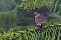 カンムリワシ - ごっちの鳥日記