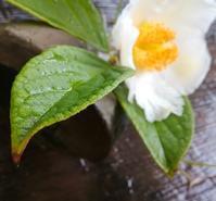 夏椿の庭… - 侘助つれづれ