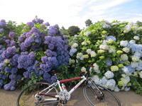 自転車のある風景 63 紫陽花 - じてんしゃでグルメ!3