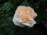 6月の庭の花  その2 - ハンドメイド  Atelier   maki