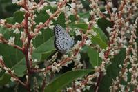 ■ シジミチョウ 3種   18.6.24   (ヤマトシジミ、ルリシジミ、ベニシジミ) - 舞岡公園の自然2