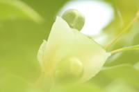夏椿咲く - 写真のきろく