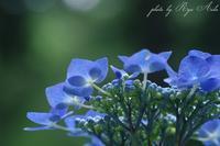 ゆりの中に紫陽花 - Ryu Aida's Photo