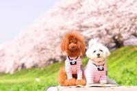 2018年の桜 - 幸せカメラ ~一眼レフで綴る~