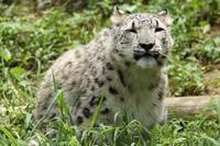 ユキヒョウのフクちゃんは、クーラーが効いた部屋が好き(多摩動物園) - 旅プラスの日記