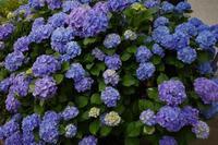 紫陽花 - Photodiary